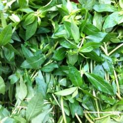 Purple Green Spinach 500g