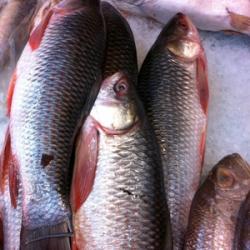 Frozen Hilsa Fish 1KG